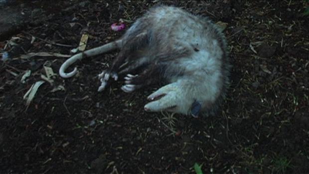 Opossum Still 2 - Sean Whiteman